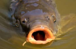 What Do Carp Eat