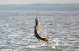 Why Do Fish Jump Out of the Water